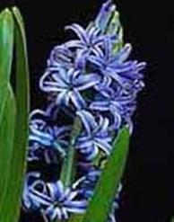 Синие гиацинты