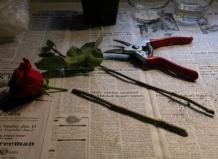 Можно ли укоренить розы, подаренные на день святого Валентина?