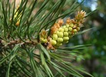 Хвойное дерево сосна и его разновидности: от крымской до сибирской сосны