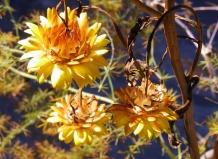 Полевой цветок бессмертник