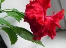 Гибискус - замечательное одиночное растение для солнечного подоконника.  Его крупные цветки с тонкими.
