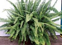 Абутилон мегапотамский - Abutilon megapotanicum Семейство - Мальвовые.