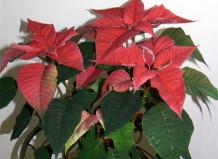 Уход за растением Рождественская Звезда, выращивание ...