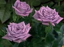 Купить розы комнатные подарок на 8 жене