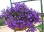 Мне еще посоветовали окно украсить лобелией. .  Ее можно подвесить в кашпо и она цветет как и петуния до поздней...