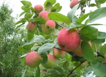 Яблоня: сорта, посадка и уход