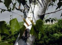 Значение березы в озеленении и ландшафтном дизайне