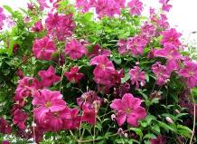 Как правильно посадить клематисы?