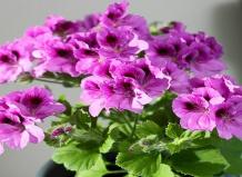 Цветущие комнатные растения еще 12