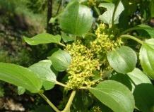 Энциклопедия › лиственные кустарники
