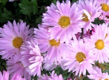 Цветы для сада › хризантема enbee wedding