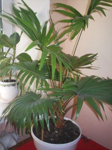Пальма ливистона в домашних условиях Уход выращивание