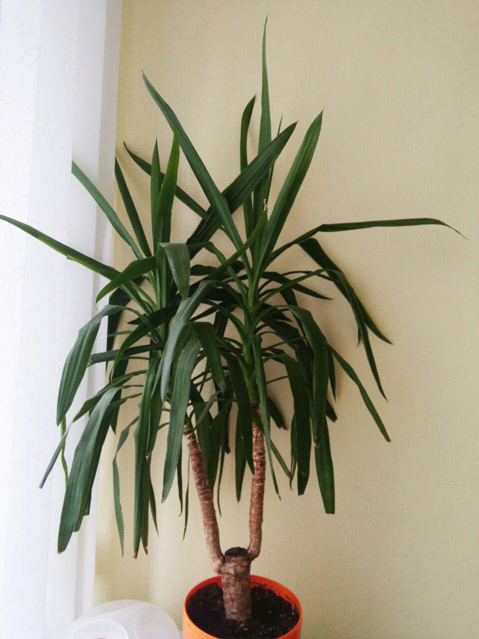 Как правильно ухаживать за пальмой юкка в домашних условиях 32
