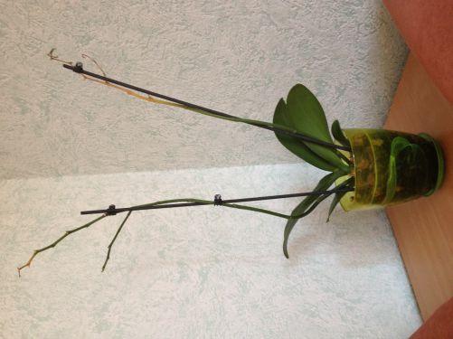 Засохли цветки орхидеи что делать