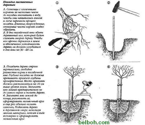 Как сажать березу весной