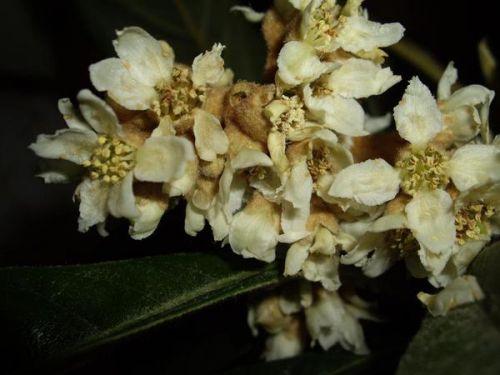 цветение мушмуллы японской