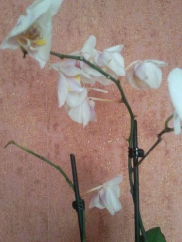 У орхидеи опали цветы что делать.