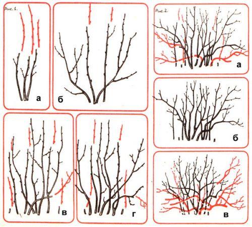 Формирующая обрезка кустов черной, красной и белой смородины одинаковая.  Но обрезка плодоносящих кустов у них...