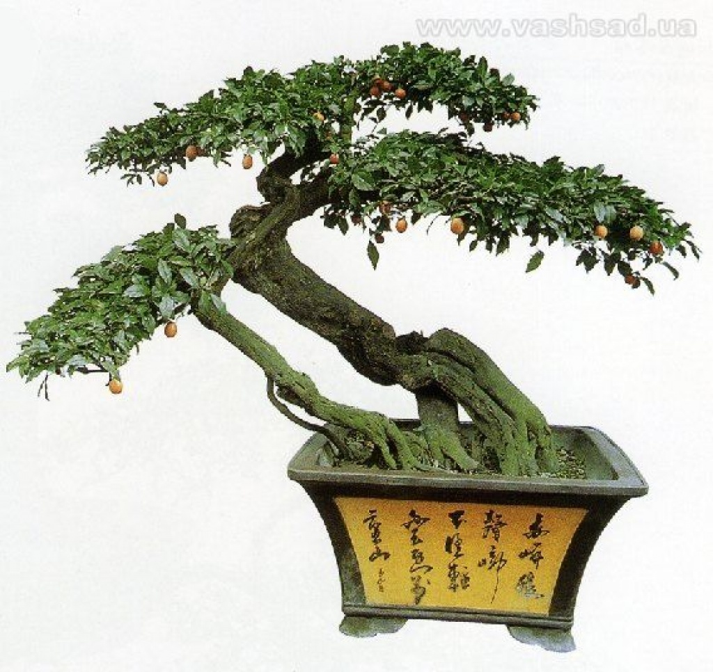 И только в 20-м веке многовековые японские традиции бонсай начали проникать на Запад.  Первые выставки бонсай были...