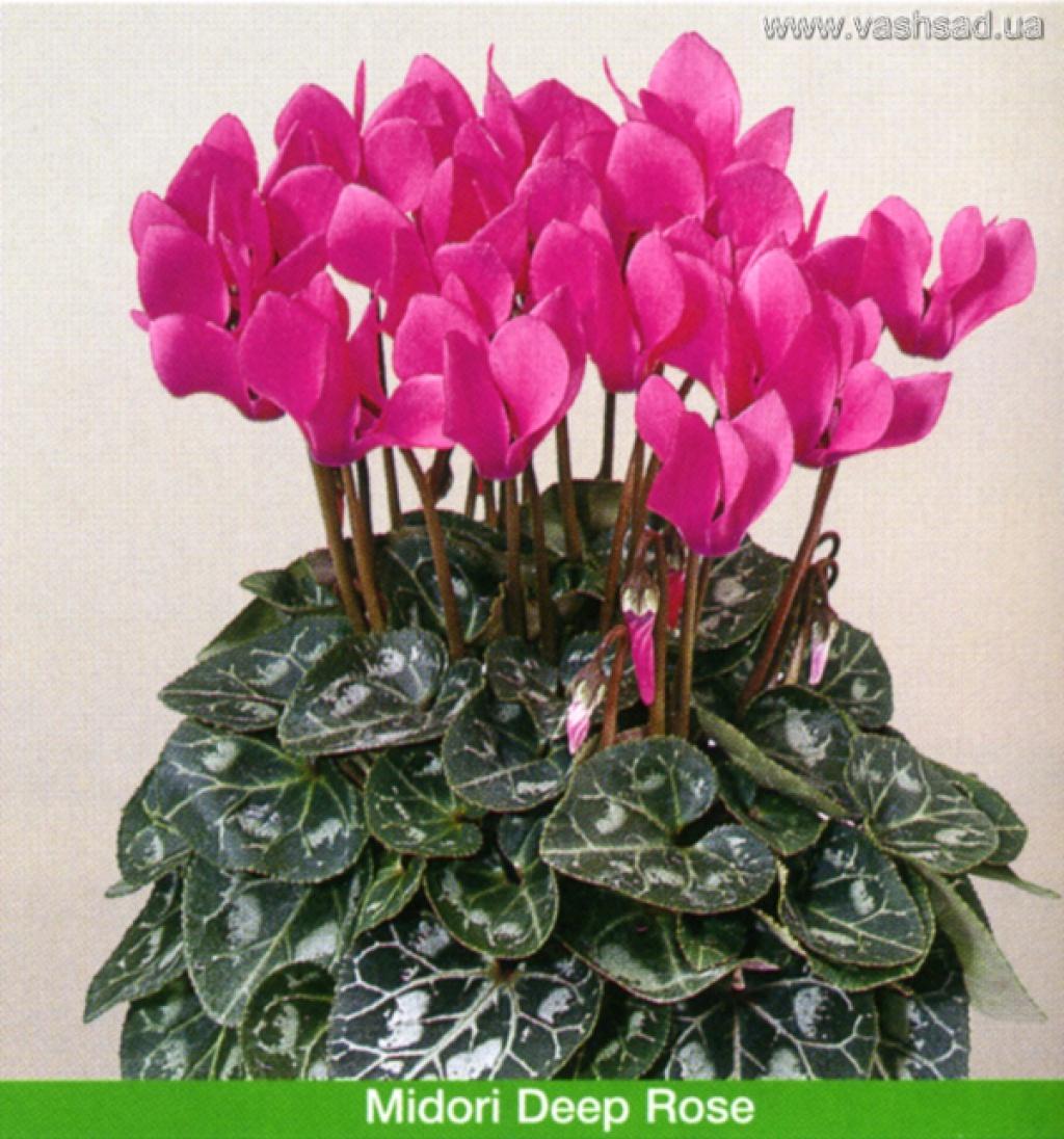 Цикламен цветок уход размножение фото