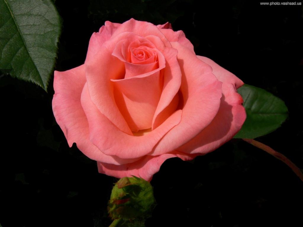 Нежно-розовая роза, цветы 1440х900, широкоформатные обои - Обои для рабочего стола. Wallpapers