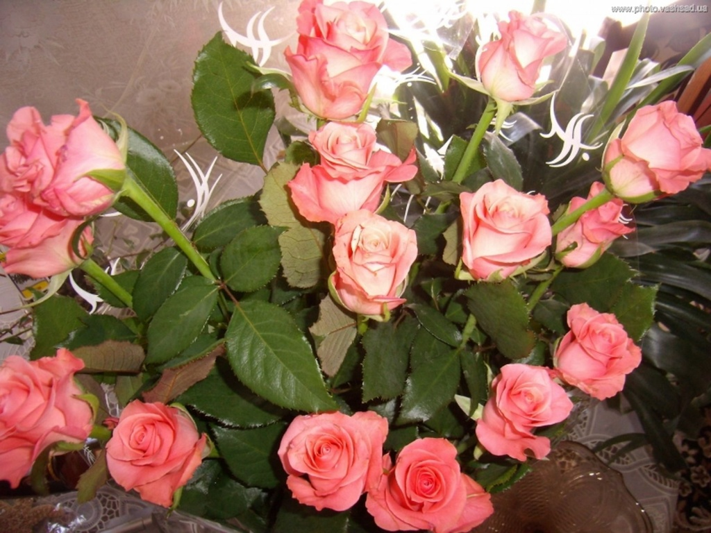Плетистая роза аврора 3