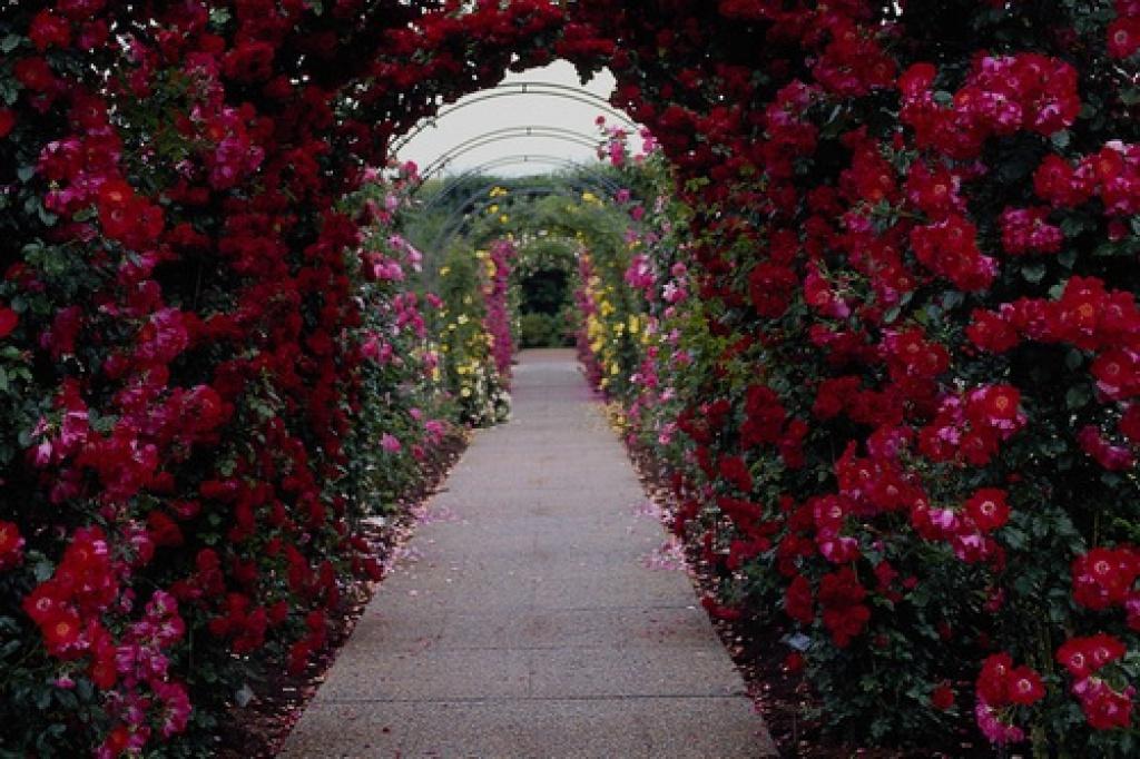 Роза плетистая paul scarlet 4