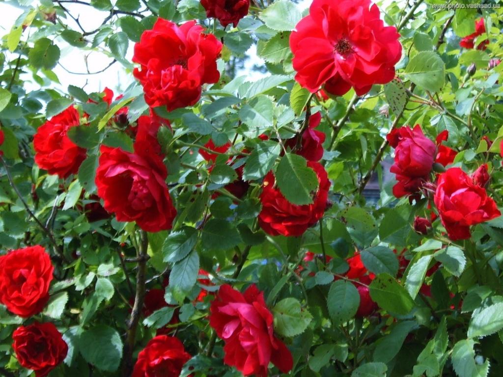 Плетистая роза скарлет уход 3