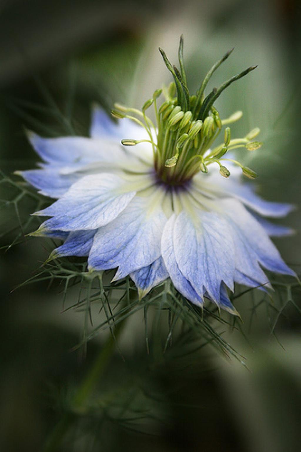Нигелла дамасская. Выращивание 87