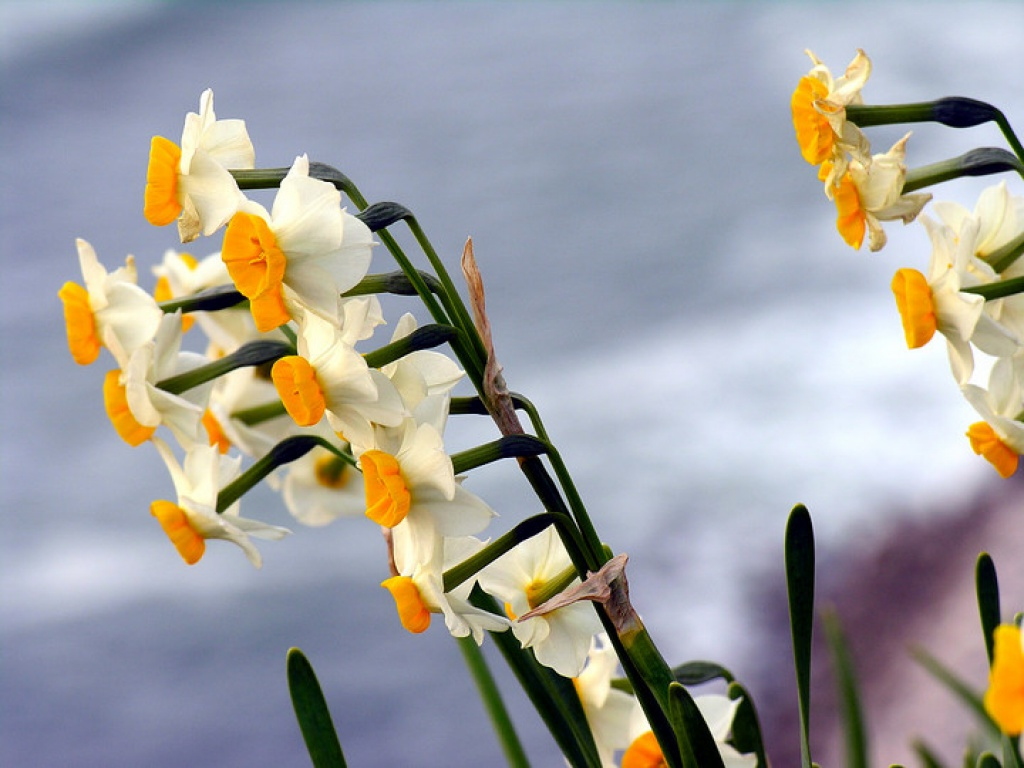 The daffodils Wallpaper Narcissus that flower Wallpaper for the Tablet Pc8 Daffodils Nature Wallpapers