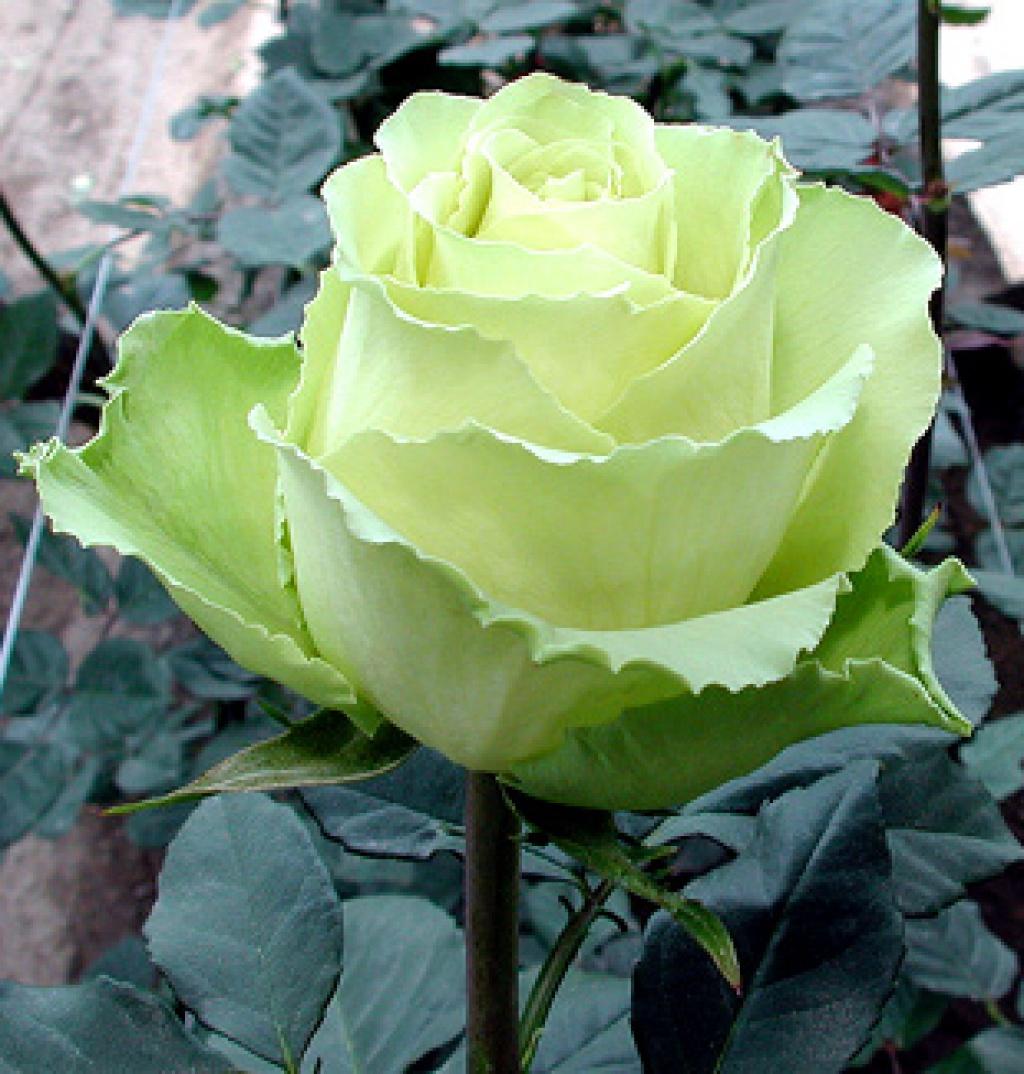 Роза High Peace.