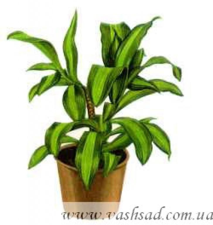 Комнатные растения фото названия