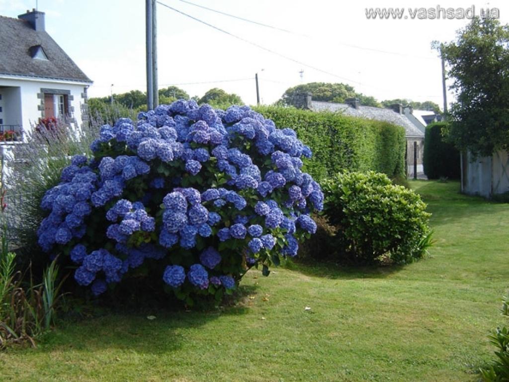 Куст с большими цветами