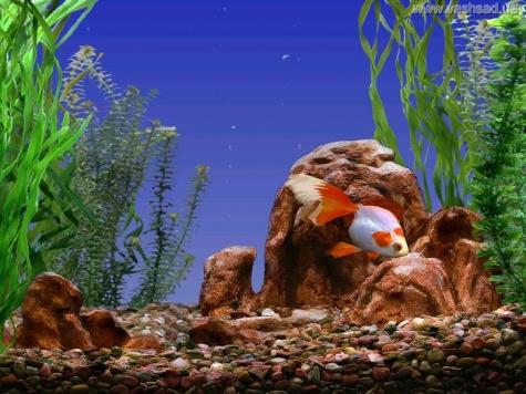 Goldfish aquarium screensaver v1 0