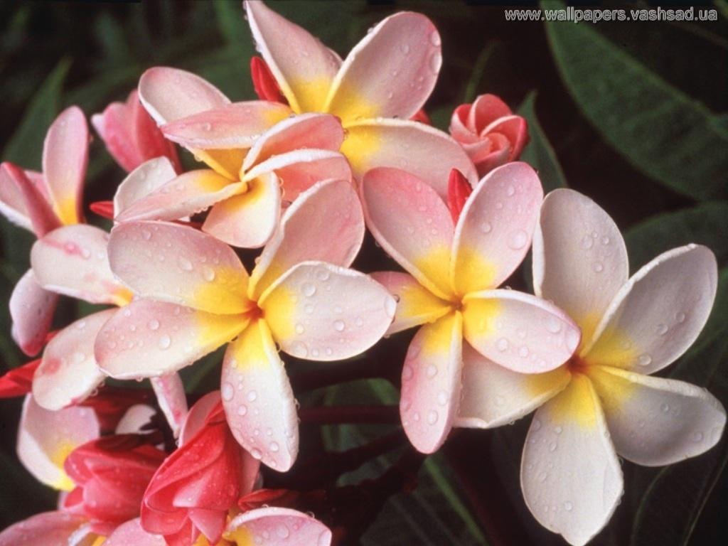 Гавайские цветы картинки 4