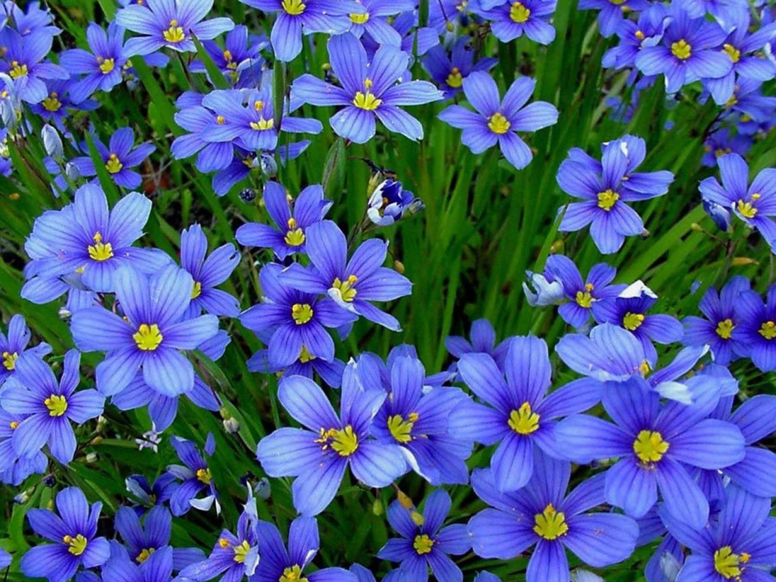 Море синих цветов фото на комп и обои