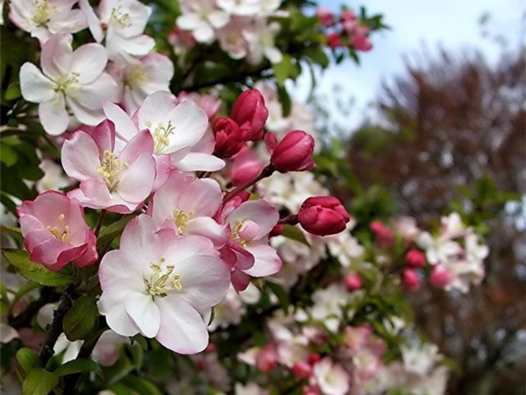 яблоневый цвет картинки 6