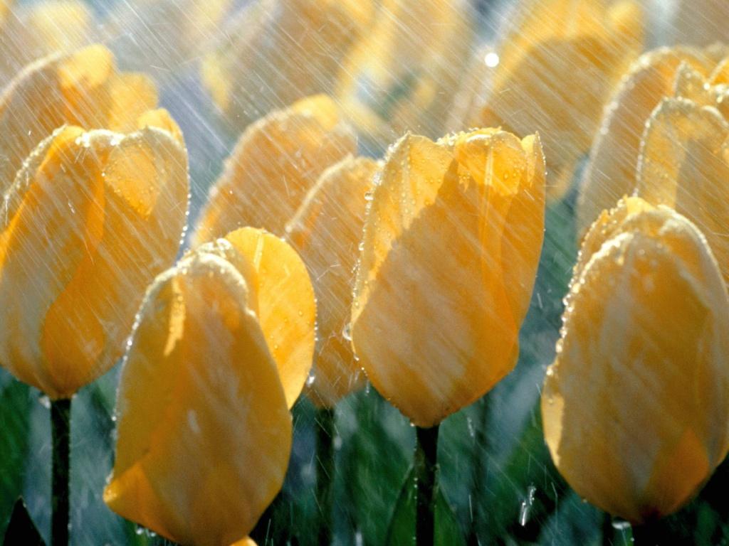 Картинки цветы под дождем 3