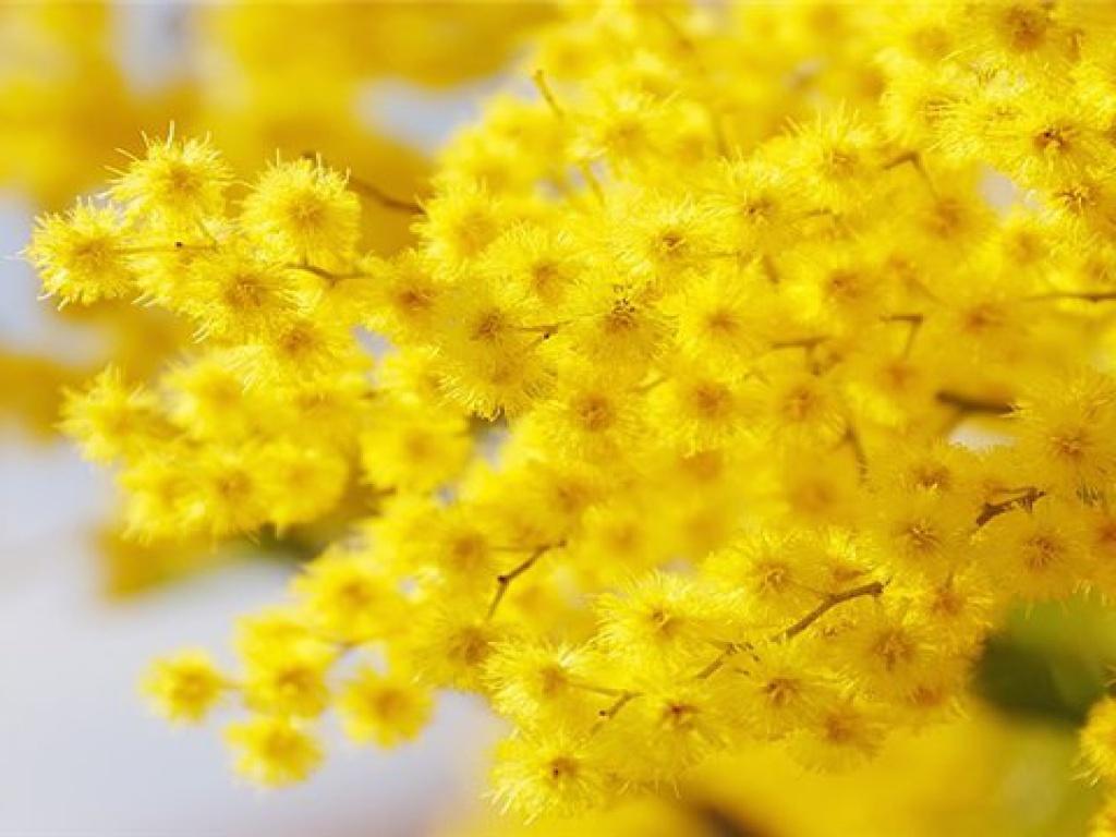 Картинки цветов мимоза 2