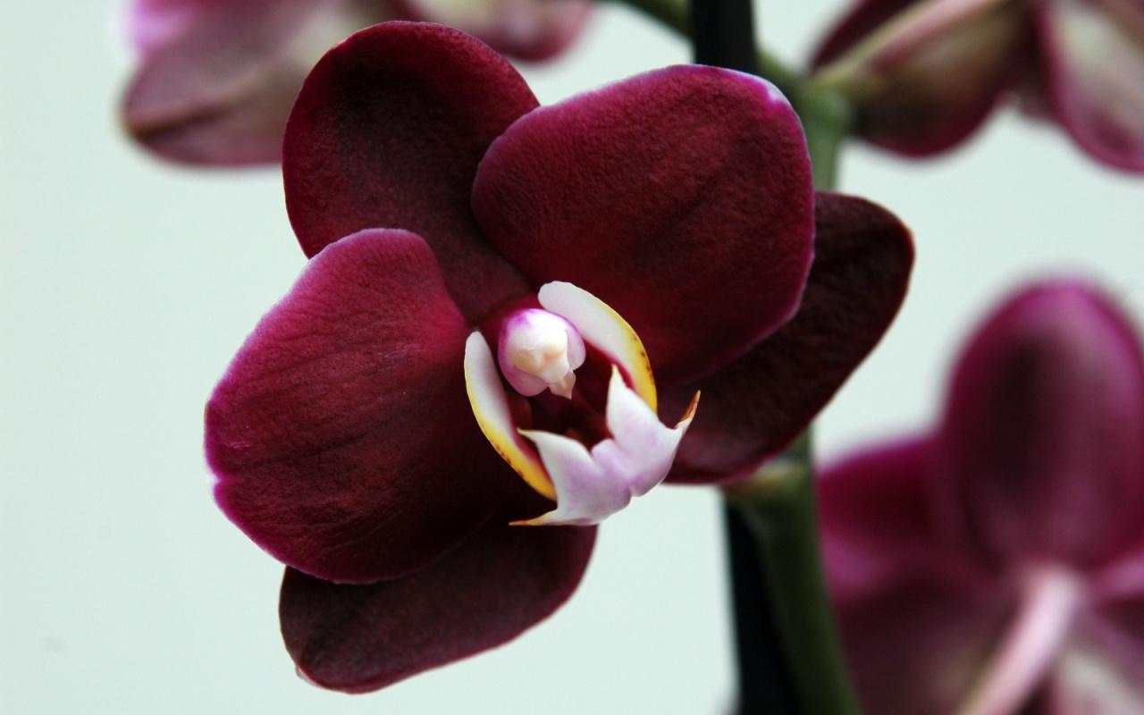 Виды орхидей фаленопсис