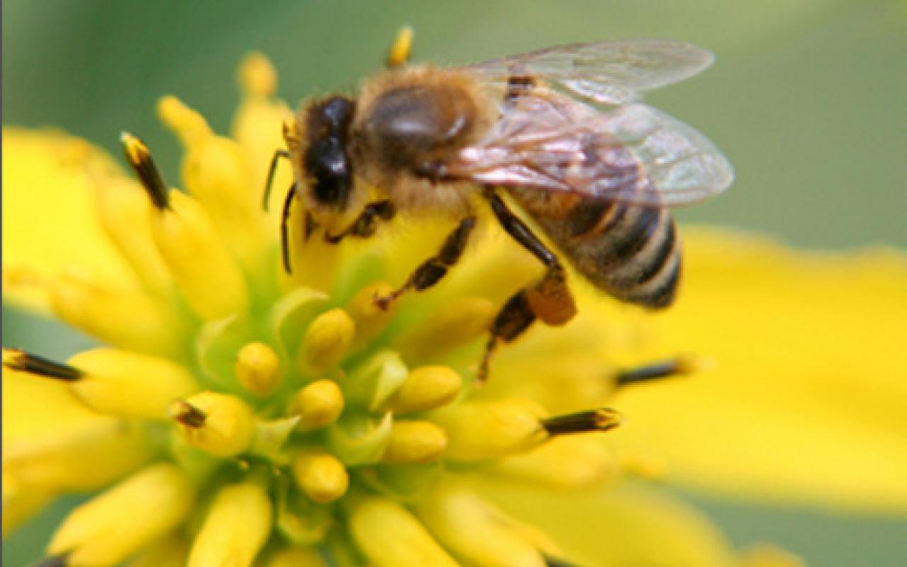 Пчелка на цветке картинка 7