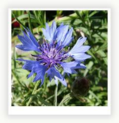 Василек – народный цветок