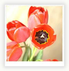 Тюльпан – цветочный хан