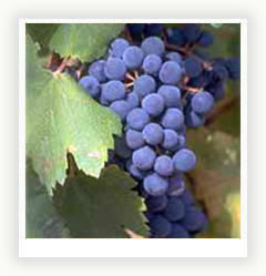 Школа виноградника. Выбираем посадочный материал