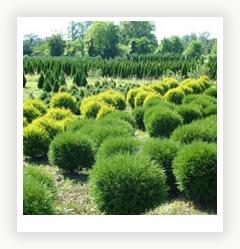 Выбираем сорт туи для зеленой изгороди