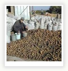 Выращивание картофеля: советы опытных огородников
