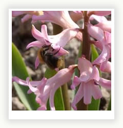 Гиацинтов цветочный фейерверк
