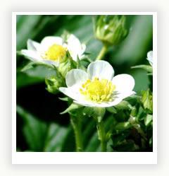 Земляника на садовом участке - тонкости и секреты выращивания