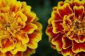 Цветы как деликатес