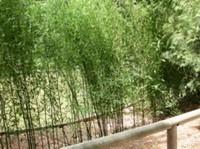 Цветение бамбука